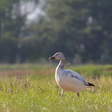 Snow Goose in Grass Field Royalty Free Stock Photo
