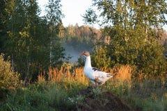 Snow goose on hillock. On the village royalty free stock photos