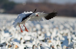 Snow Goose landing Royalty Free Stock Photography