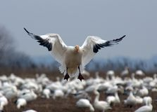 Snow Goose Landing. A single Snow Goose landing among a flock of geese royalty free stock image
