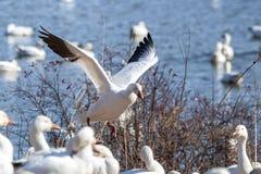 Free Snow Goose Landing In Weeds Royalty Free Stock Photo - 164259885