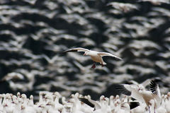 Snow Goose Landing in Large Flock Stock Photos