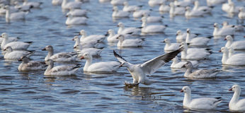 Snow Goose Stock Photography