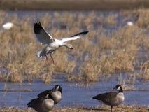 Snow goose landing Royalty Free Stock Photos