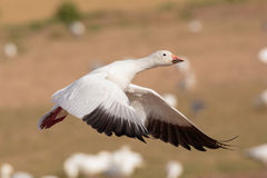 Snow Goose Liftoff. A Snow Goose lifting off from a field striving to gain altitude Royalty Free Stock Image