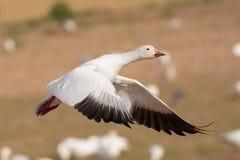 Snow Goose Liftoff Royalty Free Stock Image