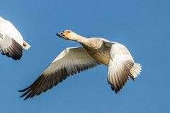 Snow Goose on the loose royalty free stock images