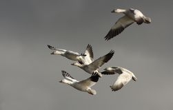 Snow Goose migration Stock Image