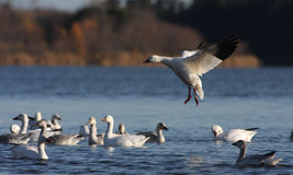 Snow Goose migration Royalty Free Stock Photo