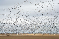 Snow Goose Migration Fall. Snow Goose migration in fall, greater and lesser snow gees in farm field in Saskatchewan, Canada Stock Images