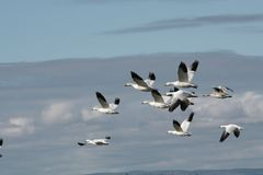 Snow goose migration in Quebec, Canada Royalty Free Stock Photo