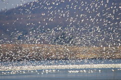 Snow Goose Migration Spring 2017 Stock Photography