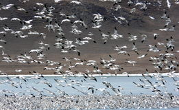 Snow Goose Migration Stock Images