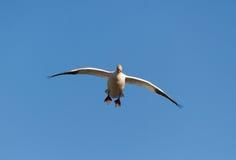 Snow Goose Stock Photo