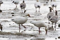 Snow Goose Royalty Free Stock Photos