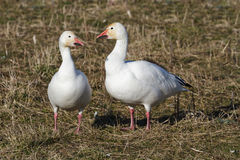 Snow Goose Stock Photo
