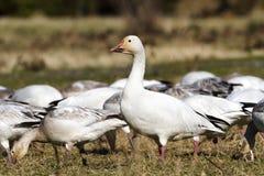 Snow Goose Stock Photography