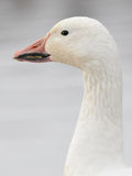 Snow goose portrait Royalty Free Stock Image