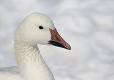 Snow Goose Profile Royalty Free Stock Photography
