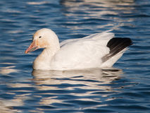 Snow goose resting Stock Image