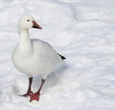 Snow Goose in Snow Royalty Free Stock Photography