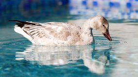 Snow Goose Swimmimg in Pool Royalty Free Stock Photography