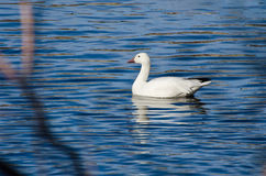 Snow Goose Swimming in Blue Water. White snow Goose Swimming in Blue Water Stock Images