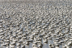 Snow gooses Royalty Free Stock Image
