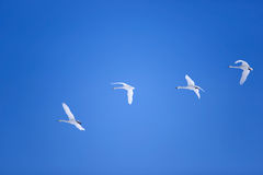 Snow gooses flying Royalty Free Stock Image
