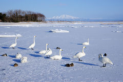 Snow gooses Stock Image