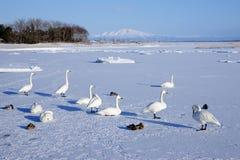 Snow gooses. A group of snow goose on ice lake, Hokkaido, Japan Stock Image