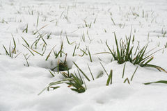 Snow and grass. Grass sticking up threw snow Royalty Free Stock Photography