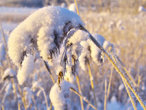 Snow on the grass. Snow on the old dry blade of grass royalty free stock photo