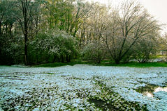 Snow on the grass in the spring in Moscow Royalty Free Stock Image