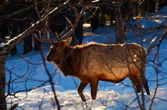 Snow-Grazing Elk Royalty Free Stock Photo