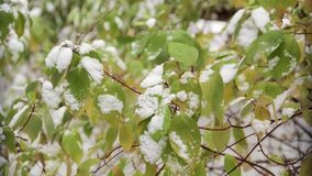 Snow on the green leaves of the tree. Snow on green leaves of shrubs stock video