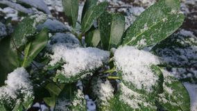 Snow on green leaves. In sunny day. Typical winter season view. Beautiful brisk morning outside stock video footage
