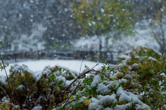 Snow on green leaves. Snowfall and green leaves in the morning Stock Images