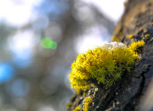 Snow green moss growing on a tree Stock Images