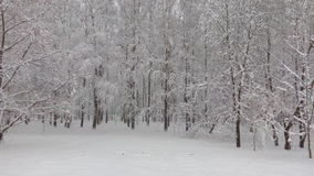 Snow grove. Birch grove after a heavy snowfall stock photo
