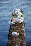 Snow on the gulls of the seaside . Gulls on snow with Caspian Sea . Seagulls on the frozen pier at the Caspian Sea. Snow on the gull of the seaside . Gull on Royalty Free Stock Image