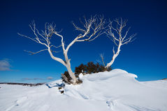 Snow Gum Royalty Free Stock Photos