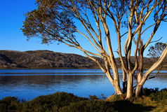 Snow Gum Stock Images
