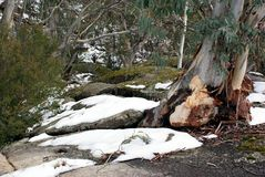 Snow and Gum Trees Royalty Free Stock Images