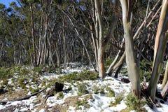 Snow Gums. Australian trees in snow Stock Photos