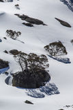 Snow Gums, Charlotte Pass Royalty Free Stock Photos