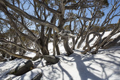 Snow Gums at Charlotte Pass, New South Wales Stock Photo