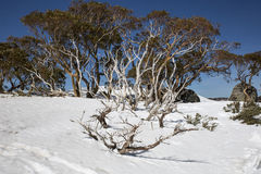 Snow Gums at Charlotte Pass Royalty Free Stock Photo