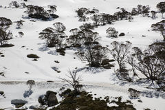 Snow Gums Eucalyptus pauciflora at Perisher Valley, New South Wales. Stock Photo