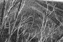 Snow gums in the Victorian Alps, Victoria, Australia Stock Photo